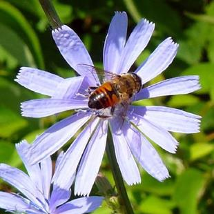 Art: bee on chicory by Artist S. Olga Linville