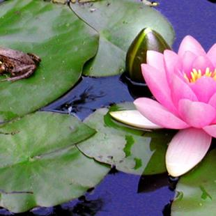 Art: Water Lilies with Baby Frog by Artist Shawn Marie Hardy