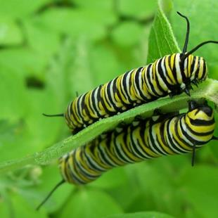 Art: Monarch Caterpillar Twins by Artist RUTH J JAMIESON