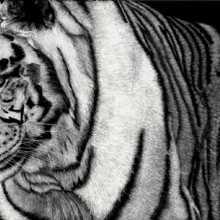 Art: White Tiger by Artist Sandra Willard