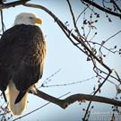 Art: Photography : Eagle Portrait by Artist Leanne Wildermuth