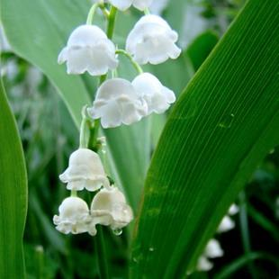 Art: Lily of the Valley 2010-B by Artist Leea Baltes