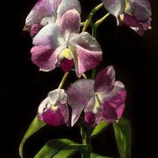 Art: Orchid II by Artist Sandra Willard