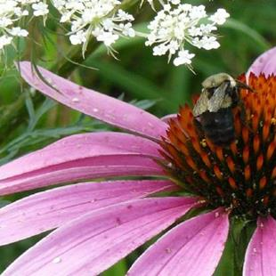 Art: coneflower & bee by Artist S. Olga Linville