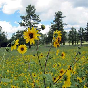 Art: Buffalo Park Sunflowers by Artist Diane Funderburg Deam