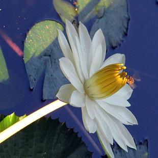 Art: Waterlily in Figi by Artist Diane Funderburg Deam