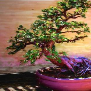 Art: Bonsai Dream by Artist Carolyn Schiffhouer