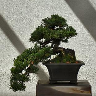 Art: Bonsai by Artist W. Kevin Murray