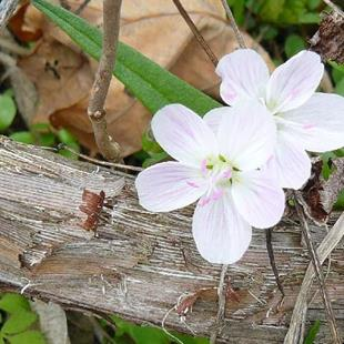 Art: more spring beauties by Artist S. Olga Linville