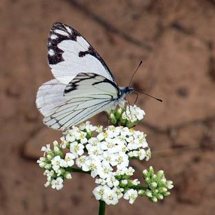 Art: White Butterfly on Queen Anne's Lace by Artist Diane Funderburg Deam