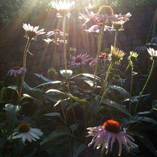 Art: Echinacea Purpurea (Golden Hour) by Artist Amie R Gillingham