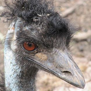 Art: Muddy Emu by Artist Diane Funderburg Deam