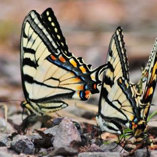 Art: Mating Swallowtails by Artist Stephanie M. Daigle
