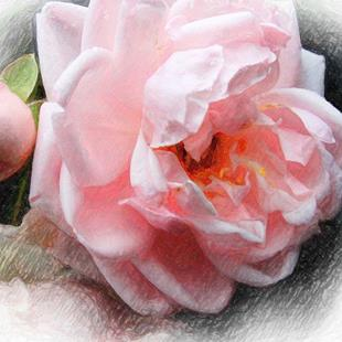 Art: Softly Rose by Artist Carolyn Schiffhouer