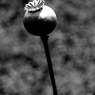 Art: Black & White Poppy Bud #2 by Artist Windi Rosson