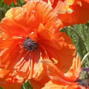 Art: Pretty Poppies 4 by Artist Jennifer Love Artwork