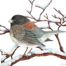 Art: Oregon Junco by Artist Carmen Medlin