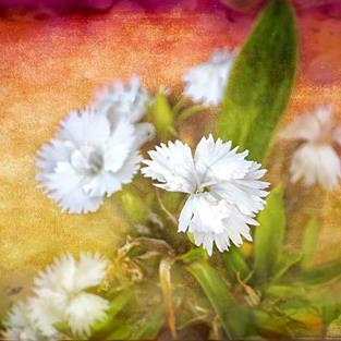 Art: Dianthus Glory by Artist Carolyn Schiffhouer