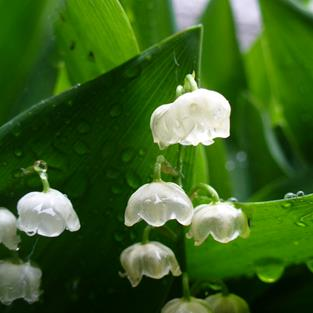 Art: Lilly of the Valley by Artist Carroll