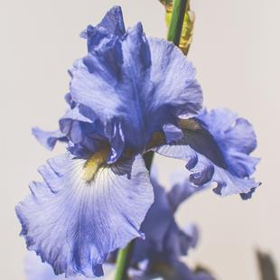 Art: Periwinkle Iris by Artist Leanne Wildermuth