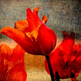 Art: Red Tulip by Artist Carolyn Schiffhouer