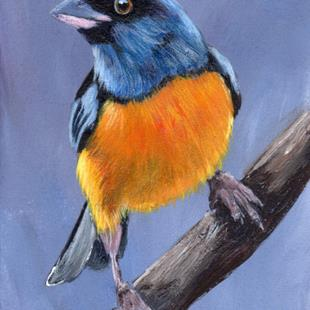 Art: Blue and Yellow Tanager ACEO by Artist Janet M Graham