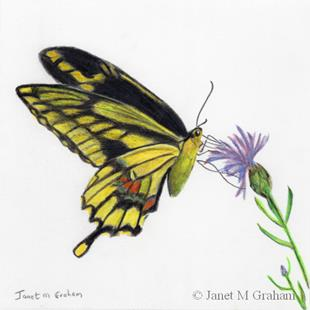 Art: Giant Swallowtail Butterfly by Artist Janet M Graham