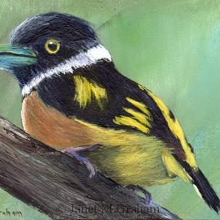 Art: Black and Yellow Broadbill ACEO by Artist Janet M Graham
