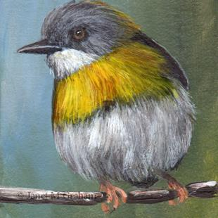 Art: Yellow Breasted Apalis ACEO by Artist Janet M Graham