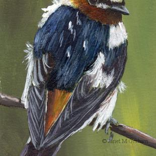 Art: Cliff Swallow ACEO by Artist Janet M Graham