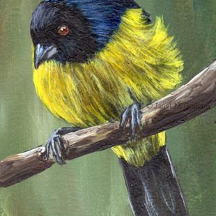 Art: Hooded Mountain Tanager ACEO by Artist Janet M Graham