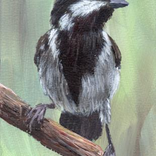 Art: Ashy Tit ACEO by Artist Janet M Graham