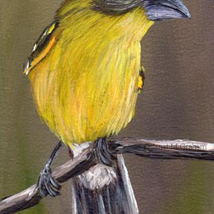 Art: Yellow Grosbeak ACEO by Artist Janet M Graham