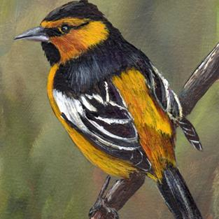 Art: Bullock's Oriole ACEO by Artist Janet M Graham