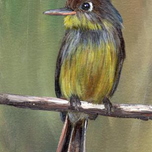 Art: Cuban Pewee ACEO by Artist Janet M Graham