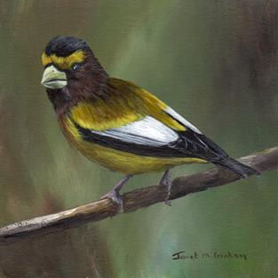 Art: Evening Grosbeak by Artist Janet M Graham