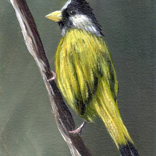 Art: Crested Finchbill ACEO by Artist Janet M Graham