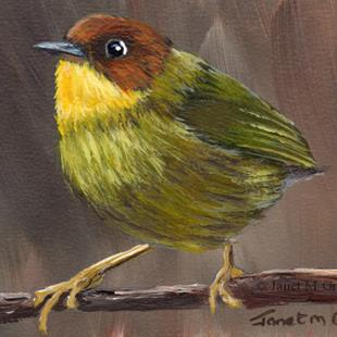 Art: Chestnut headed Tesia ACEO by Artist Janet M Graham