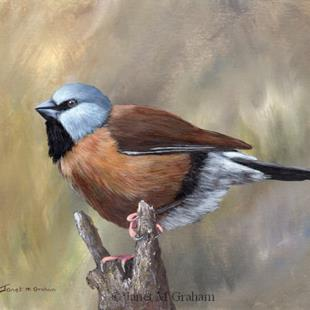 Art: Black Throated Finch by Artist Janet M Graham